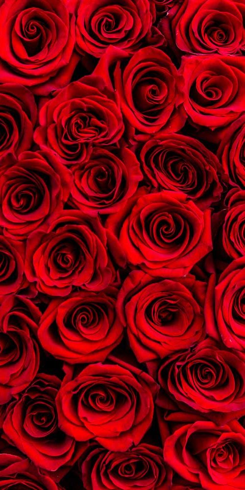 Valentines-roses-Greenrose
