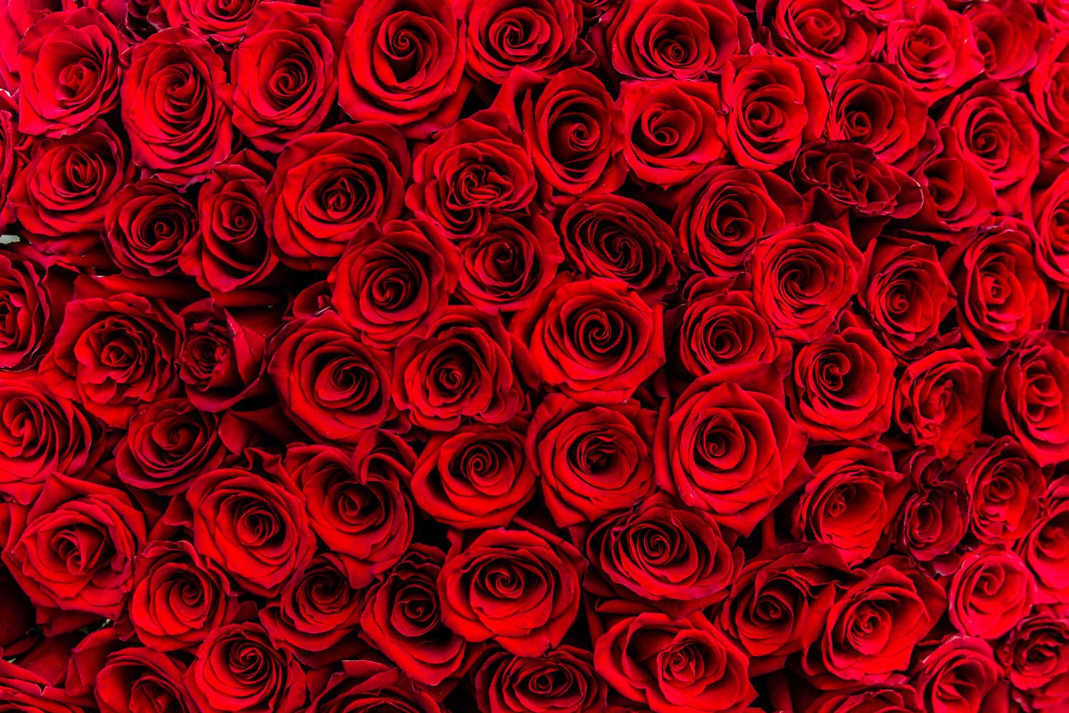 The History of Roses and St. Valentine's Day
